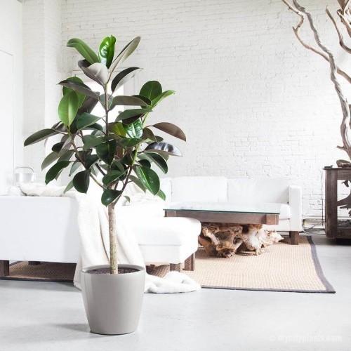 Luftreinigende Pflanzen Gummibaum im Wohnzimmer viele Ficus-Arten beste Luftreiniger