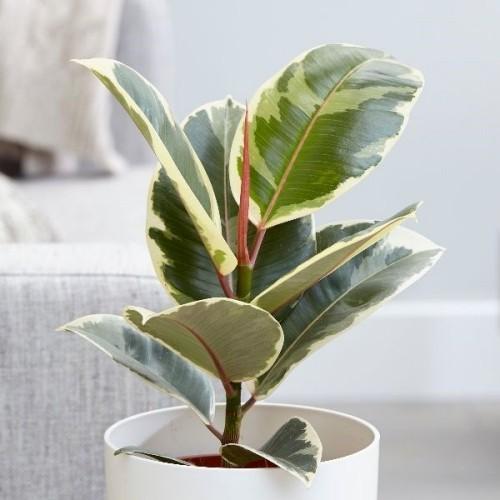 Luftreinigende Pflanzen Gummibaum