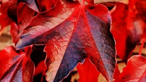 wunderschöne rote blätter basteln mit blättern