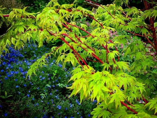 Japanischer Ahorn grüne Blätter besondere Blattform