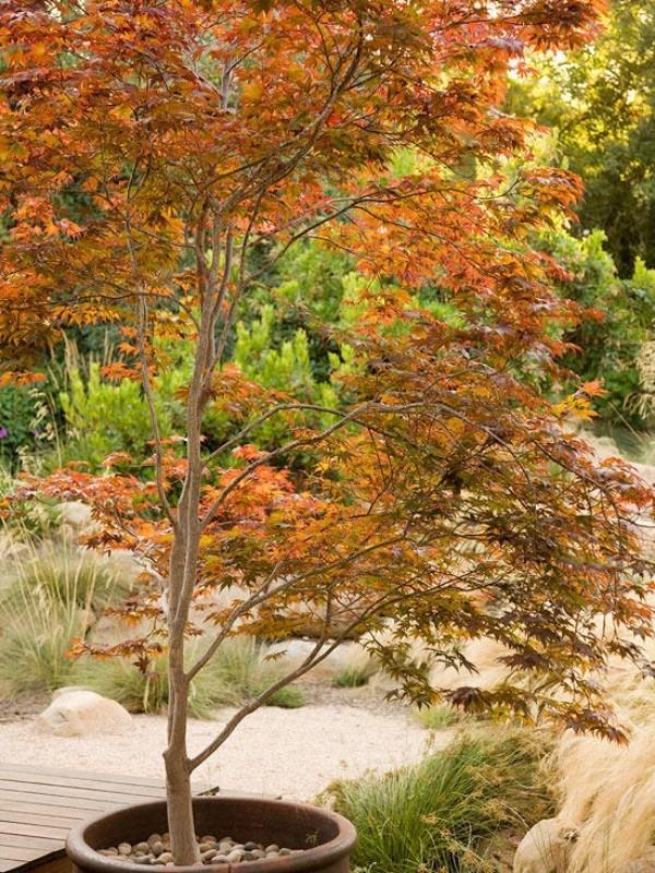Japanischer Ahorn im Topf an sonniger Stelle im Garten
