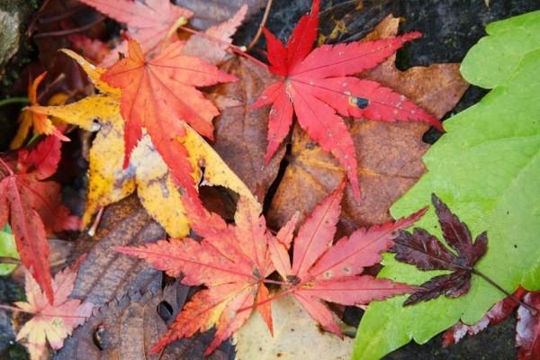 Japanischer Ahorn spektakuläre Herbstfärbung der Blätter