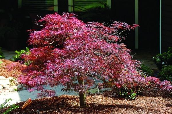 Japanischer Ahorn weinrote Herbstfärbung Indian Summer im eigenen Garten