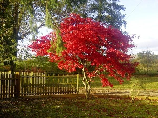 Japanischer Ahorn weinrote Herbstfärbung märchenhafte Gartenlandschaft
