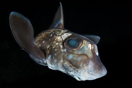 "2018 Ocean Art Contest 1. Platz Claudio Zori ""Chimaera"", Gefleckte Seeratte"