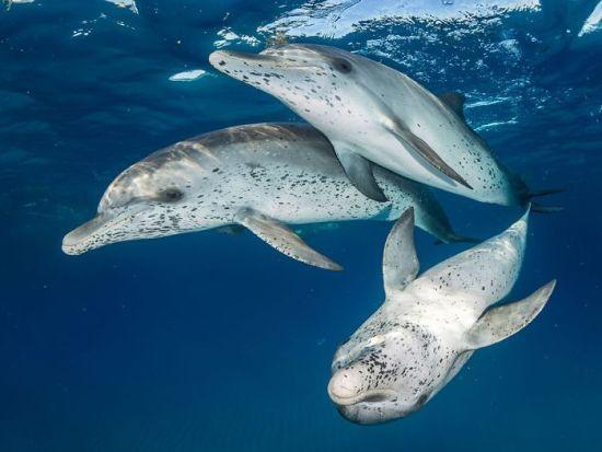 "2018 Ocean Art Contest 1. Platz Eugene Kitsios ""Atlantic Spotted Dolphins"", Zügeldelfine"