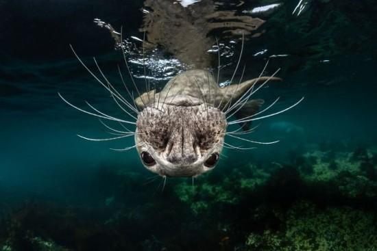 "2018 Ocean Art Contest 1. Platz Greg Lecoeur ""Grey Seal Face"", Kegelrobbe"