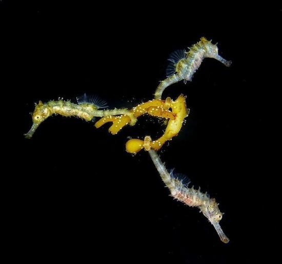 "2018 Ocean Art Contest 1. Platz Steven Walsh ""3 Baby Seahorses"", Dickbauchseepferdchen"