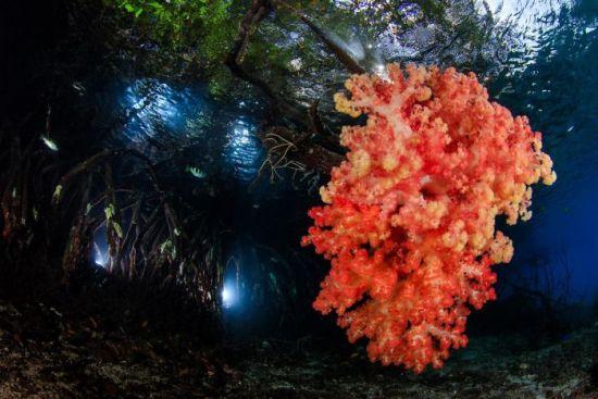 """2018 Ocean Art Contest 1. Platz Yen-Yi Lee """"Mangrove"""", Weichkoralle wächst auf Mongrove-Wurzeln"""
