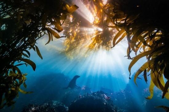 "2018 Ocean Art Contest 2. Platz Tyler Schiffman ""Burst"", Kalifornischer Seelöwe in Tangwald"