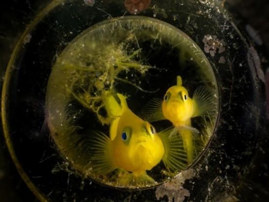 """2018 Ocean Art Contest 3.Platz Matteo Pighi """"Yellow Gobies in a Bottle"""", Gelbe Korallengrundel"""