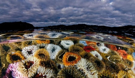 "2018 Ocean Art Contest 4. Platz Geo Cloete ""West Coast Flowers"", Sandanemone"