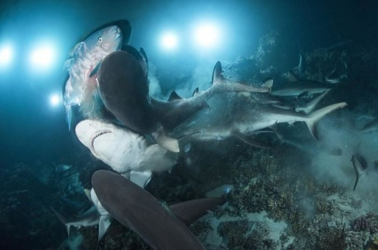 """2018 Ocean Art Contest 4. Platz Richard Barnden """"Gauntlet"""", Papageifisch gejagt von Grauen Riffhaien"""