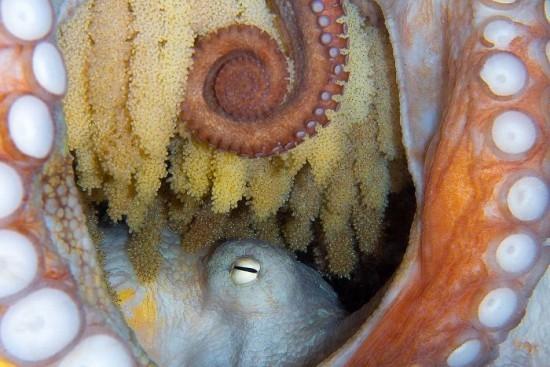 "2018 Ocean Art Contest 5. Platz Flavio Vailati ""New Life"", Oktopus mit Eier"