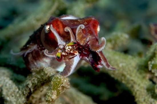 "2018 Ocean Art Contest Els Van Den Borre ""Feeding"", Kuttelfish macht Jagd auf Buntem Fangschreckenkrebs"