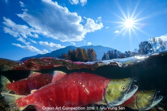 "2018 Ocean Art Contest HM Steve Kopp ""Pacific Red Sockeye"", Blaurückenlachse"