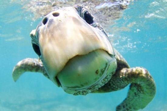 """2018 Ocean Art Contest Kyler Badten """"Curiosity"""", Grüne Meeresschildkröte"""