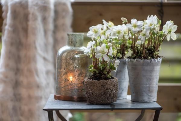 Christrose alle Teile der Pflanze sind giftig