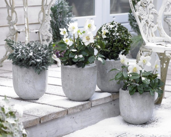 Christrose blüht wunderschön auch bei Kälte