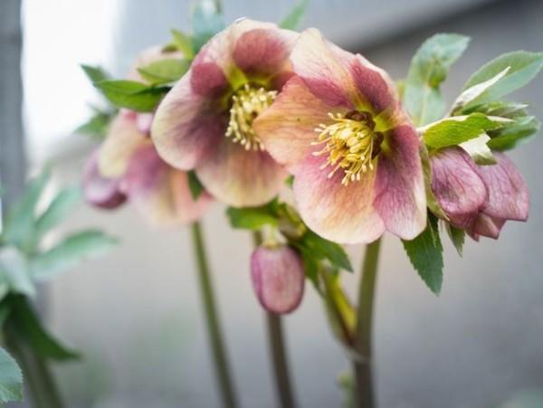 Christrose schöne Blüten wechseln Farbe
