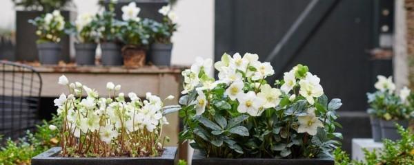 Christrose schneeweiße Blüten als Dekoration drinnen und draußen