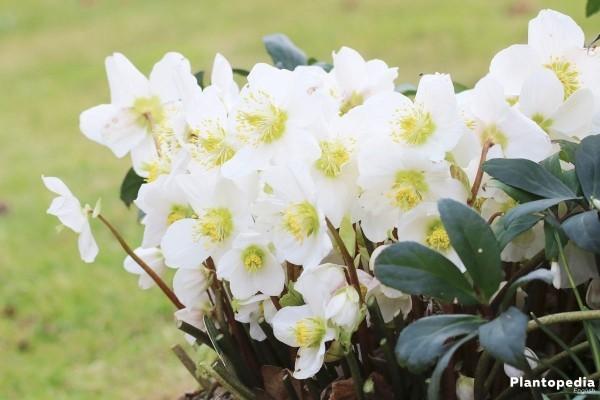 Christrose schneeweiße Blüten natürlicher Charme