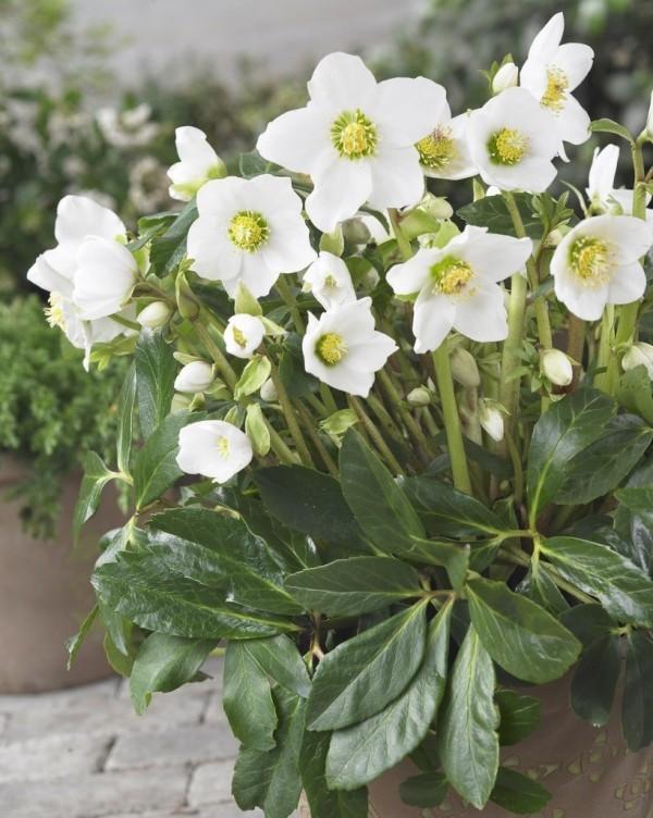 Christrose weiße Blüten sattgrüne Blätter sind von Mythen umwoben