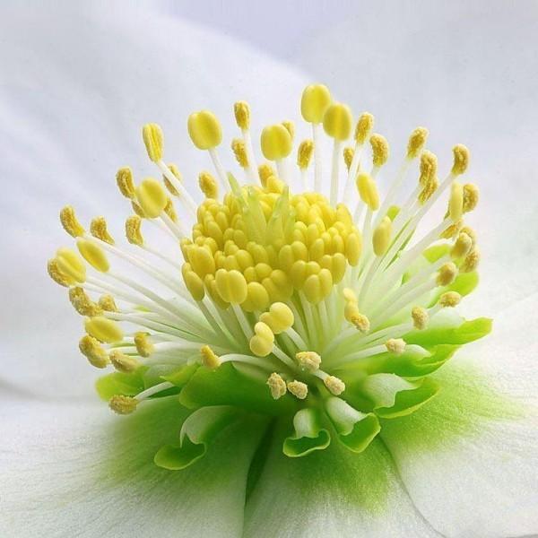 Christrose zarte Blüte natürliche Schönheit