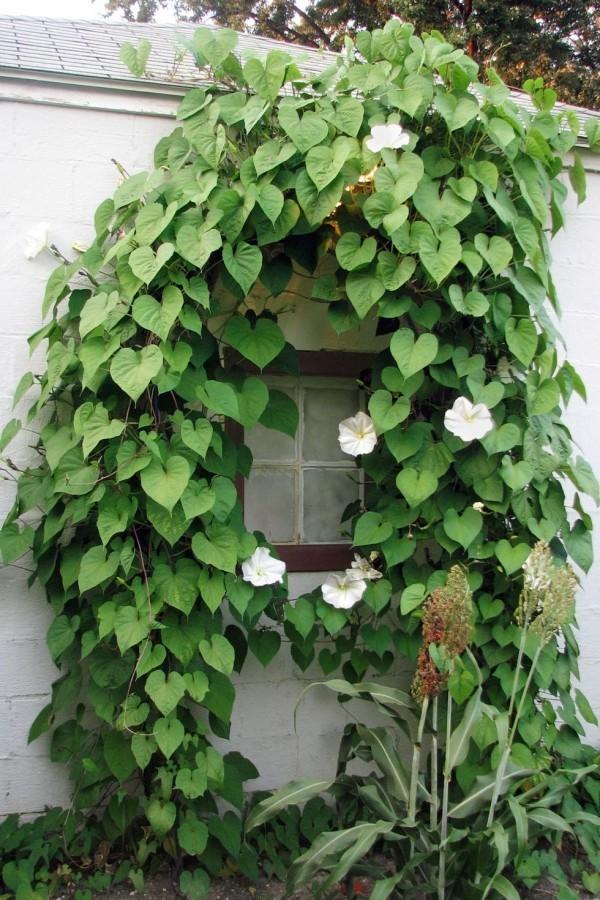 Gartengestaltung Ideen Kletterpflanze weiße Blüten