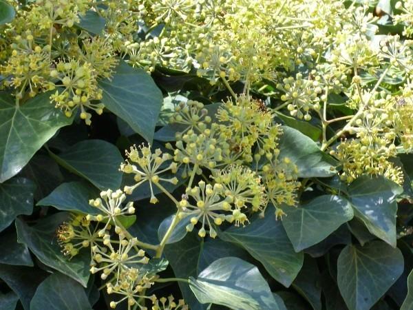 Kräuter gegen Husten Efeublüten darin steckt Heilwirkung der Natur