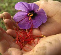 Das Safran Gewürz und seine zahlreichen, heilenden Wirkungen