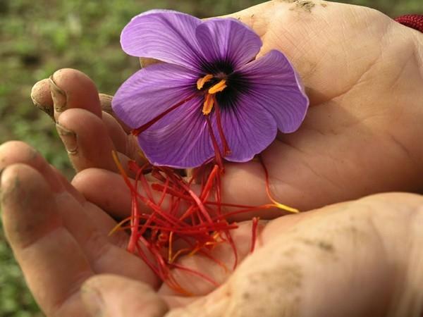 safran gewürz blüten per hand pflücken