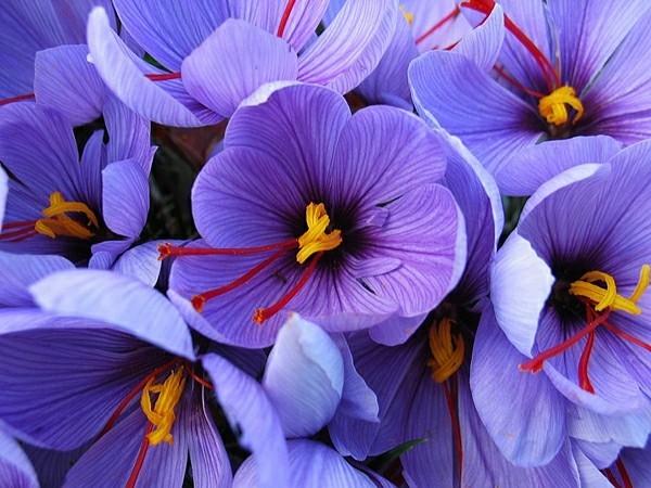 safran gewürz schöne blüten krokusse