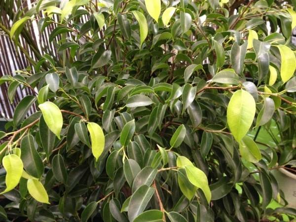 Ficus Bejamini junge Blätter etwas heller