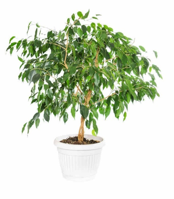 Ficus Benjamini hohe Ansprüche an den Standort