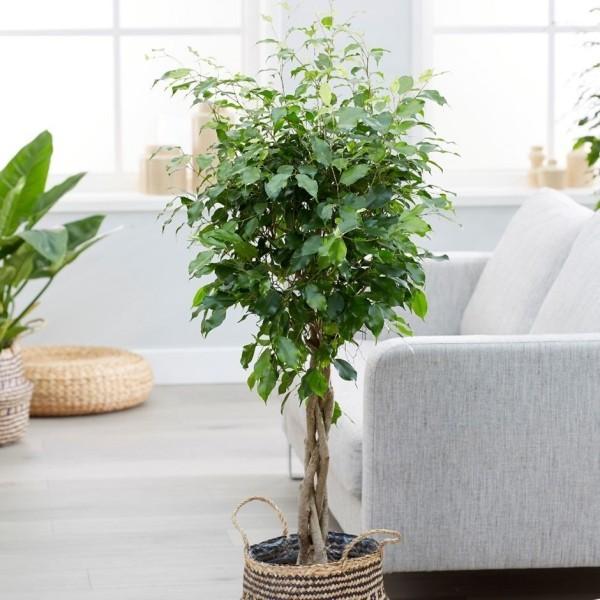 Ficus Benjamini schön geformte Krone verflochtene Zweige