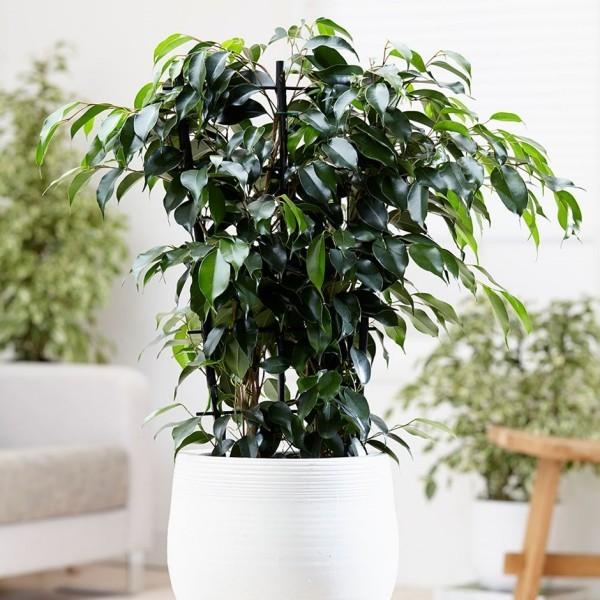 Ficus Benjamini schöne Deko zuhause sattgrüne Blätter kann bis 2 m hochwachsen