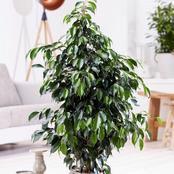 Ficus Benjamini tolle dekorative Zimmerpflanze bei guter Pflege jahrelang