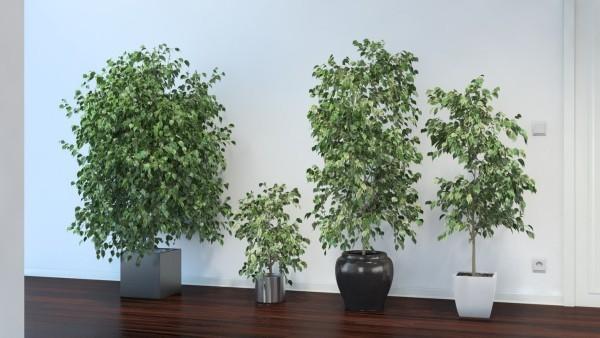 Ficus Benjamini tolles Arrangement vier Pflanzen