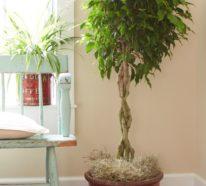 So haben Sie mehr von Ihrem Ficus Benjamini