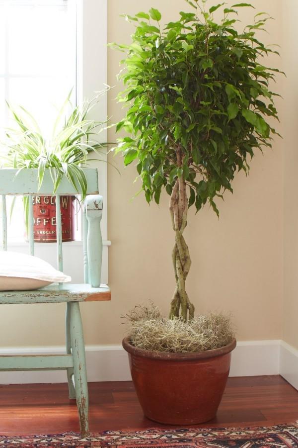 Ficus Benjamini viel Licht keine grelle Sonne