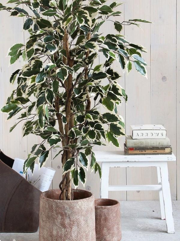 Ficus Benjamini weiß-grün panaschierte Blätter sehr attraktiv