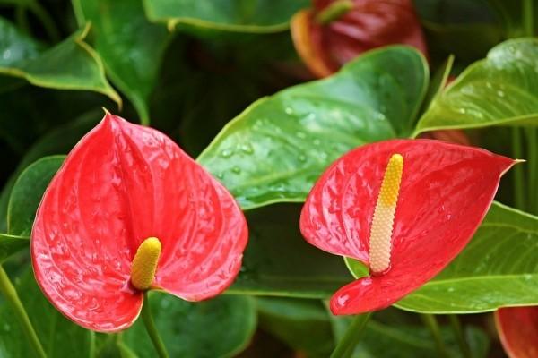 Glücksbringer Pflanzen Anthurie schöne knallrote Blüte Männerglück