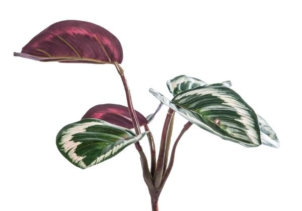 Glücksbringer Pflanzen Calathea Korbmarante bringt Glück und Liebesfreude