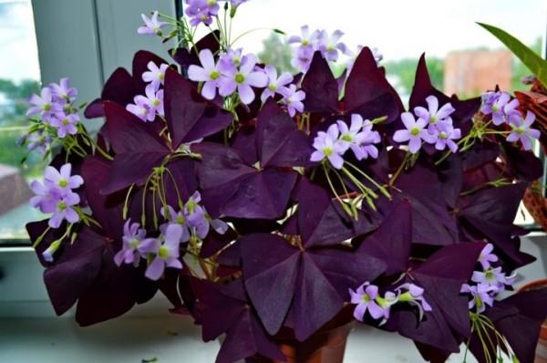 Glücksbringer Pflanzen Glücksklee vierblättriger Sauerklee Glückssymbol