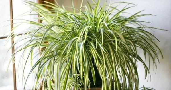 Glücksbringer Pflanzen Grünlilie bringt frische Note und viel Glück
