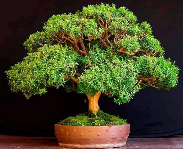 Glücksbringer Pflanzen Myrte bringt viel Glück und langes Familienleben