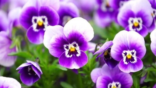 Glücksbringer Pflanzen Veilchen schöne Blüten kein Familienstreit