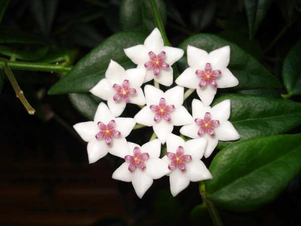 Glücksbringer Pflanzen schöne weiße glänzende Blüten Hoya Wachsblume