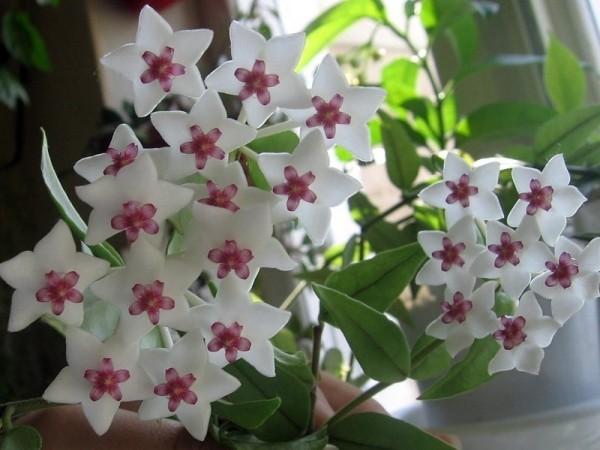 Glücksbringer Pflanzen weiße glänzende Blüten Hoya Wachsblume